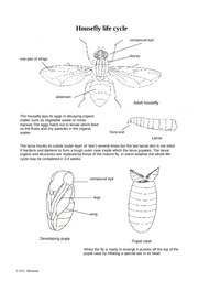 Housefly-life-cycle-1