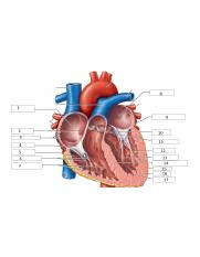 Heart - Anterior - Transsected.png