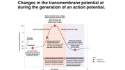 transmembrane potential changes
