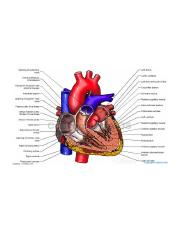 Labeled Anatomical Heart.jpg