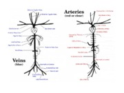 Pig_Arteries_and_Veins[1]