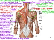 2.2 Muscles of the Back.pdf