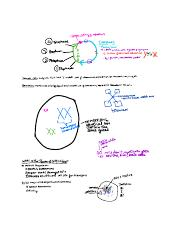 Cell Cycle Class Notes