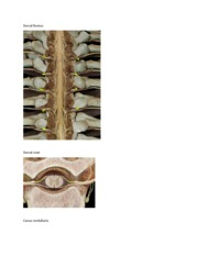Spinal nerve pics
