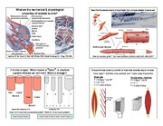 BIOL 453 Properties of Skeletal Muscle