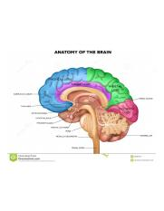 human-brain-anatomy-lobes-beautiful-colorful-illustration-detailed-sagittal-view-isolated-white-back