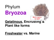 Lab Final Review--Bryozoa & Echinoderma