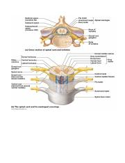 spinal cord cross section pictures