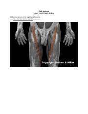19_lower_limb_muscle_actions_Worksheet.docx