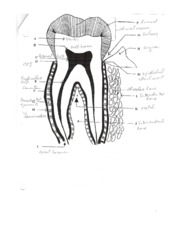 Labeled Tooth and Mouth