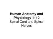 Spinal%20Cord%20and%20Spinal%20Nerves0