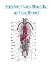 Lecture 17 Specialized tissues, stem cells and tissue renewal