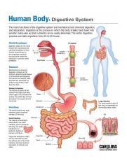 Digestive-System-infographic2Summary Poster.jpg
