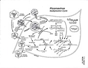 Positive-Strand RNA Viruses - Picornoviridae - Polio Virus Multiplication Cycle