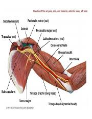 Muscles of the Upper limb.ppt