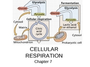 Chapter 07 Cellular Respiration, Aerobic and Anaerobic Metabolism0