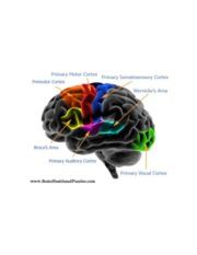 diagram_brain_cortex