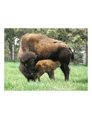 mother buffalo