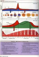 menstrual_20cycle_20001