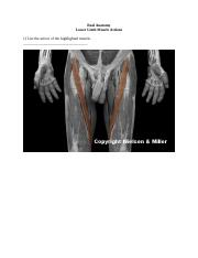 Lower Limb Muslce Actions.docx