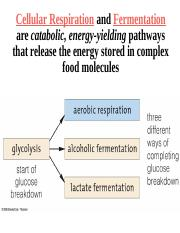 Fermentation and Metabolic Pathways.ppt