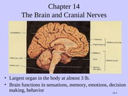 Tortora - Chapter 14 - The Brain and Cranial Nerves