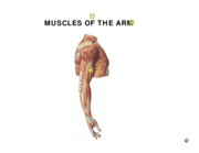 MUSCLES OF THE ARM w7 l1 wnotes