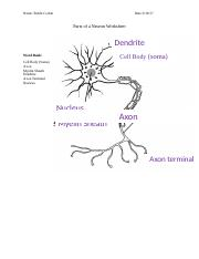 Parts of a Neuron Worksheet Answers