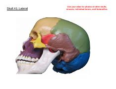 Ex 8-Skull-Color Unlabelled.pdf