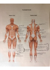 Skeletal Muscles notes