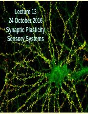 Lecture 13 10-24-16 Synaptic Plasticity and Sensory Systems.ppt