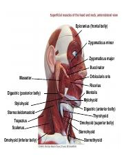 Muscles of the Head.ppt