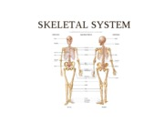 SKELETAL SYSTEM (LECTURE NOTES)