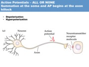 Action Potentials & synapses
