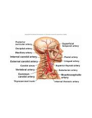 Arteries of the head and neck, right aspect.jpg