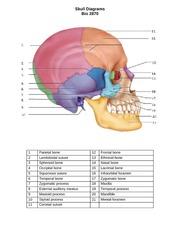 Skull Diagram Notes