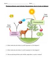 The Cycle of Photosynthesis and Cellular Respiration.docx