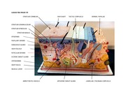 Labeled Skin Model 3D - HAIR FOLLICLE RETICULAR DERMIS ...