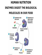 6_HUMAN_NUTRITION_ENZYMES_OUTLINE(2).ppt