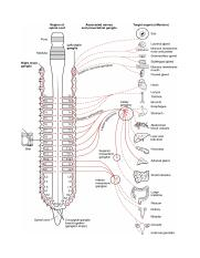 1501_Connections_of_the_Sympathetic_Nervous_System.jpg