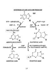 _OBRIEN-3__p20 - Synthesis of AMP and GMP