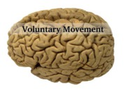 Motor Control- Voluntary Movement & Movement Disorders