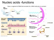 an analysis of the structure of deoxyribonucleic acid and the transfer of genes The transfer of information from nucleic acid to structure of deoxyribonucleic acid' nucleic-acid template activity in the host genes to.