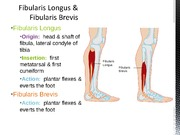 Chapter 15 & 16 Muscles of the Hip & Thigh, Leg & Foot (1)