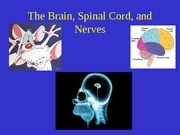 Lab 6 - Brain Spinal Cord & Nerves