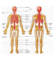 Axial and Appendicular Skeleton