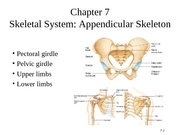 appendicular_skeleton