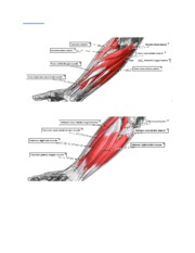 ANATOMY_OF_THE_FOREARM[1][1]