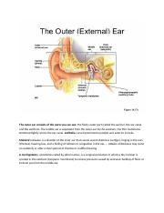 The outer ear consists of the parts you can see.docx