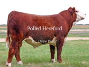 Polled Hereford powerpoint